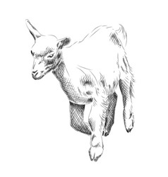 small goat isolated on the white vector image vector image