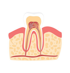 Cartoon healthy tooth vector