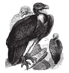 Sociable vulture vintage vector
