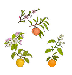 Apple peach and orange blossom and fruit vector
