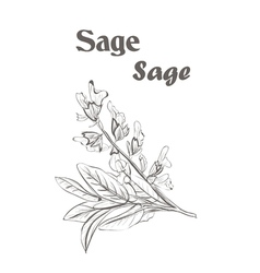 Sage herb spice Sketch drawing of a sage vector