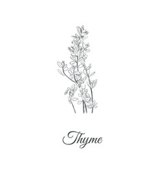 thyme thyme vector image