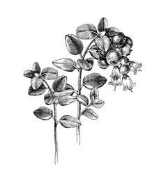 hand drawn cowberry branch vector image