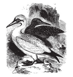 soland goose vintage vector image
