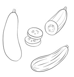 drawing zucchini vector image