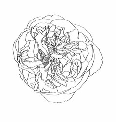 Sketch floral botany peony flower drawings vector
