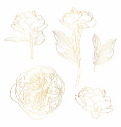 Peonies golden outline set on white background vector