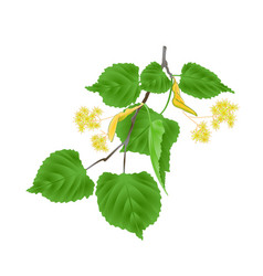 Tilia-linden tvig with leaves with linden flowers vector