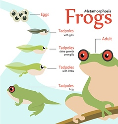 Metamorphosis Life cycle of a frog vector