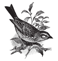 Savannah sparrow vintage vector