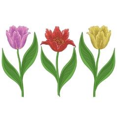 flowers tulips vector image