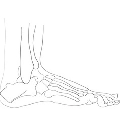 Lateral view foot bones vector