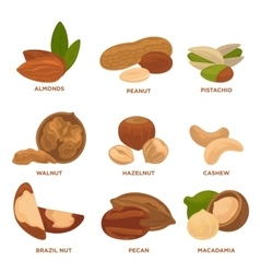 Ripe nuts and seeds vector image