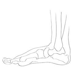 internal lateral view foot bones vector image vector image