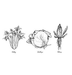 Hand drawn of celery cabbage and chicory vector