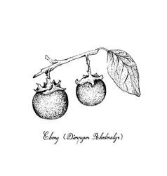 Hand drawn of ebony fruits on white background vector