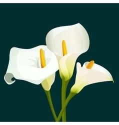 bouquet white calla lilies on dark green vector image