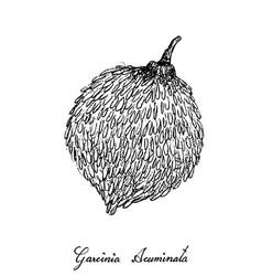 Hand drawn of garcinia acuminata fruit on white ba vector