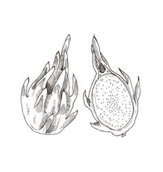 Tropical fruit sketch vector