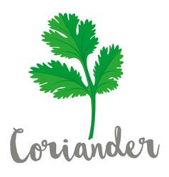 Coriander or cilantro leaf vector