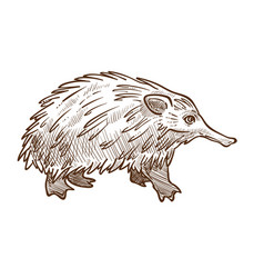 Spine anteater or echidna isolated sketch vector