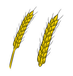 wheat drawing isolated on white background vector image