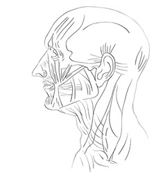 head muscles lateral vector image vector image