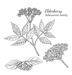 Ink elderberry hand drawn sketch vector