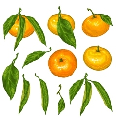 Set of mandarins Tropical fruits and leaves vector