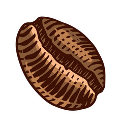 coffee bean in vintage style hand drawn engraved vector image
