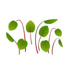 Microgreens sorrel bunch plants white vector