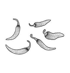 Peppers sketch engraving vector