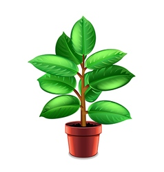 Ficus tree in pot isolated on white vector image