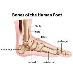 Bones of the human foot vector