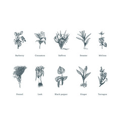 Drawn spice herbs set in engraving style vector
