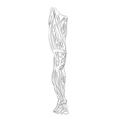 leg muscles front vector image