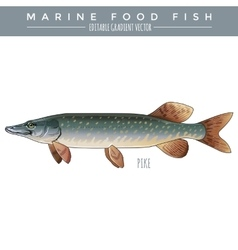 PIke Marine Food Fish vector image