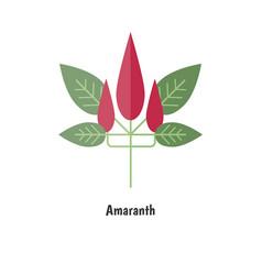 amaranthus or amaranth amaranthus or amaranth vector image