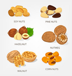 hazelnut and walnut corn and soy nuts shell vector image