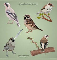 set of realistic different species of sparrows vector image