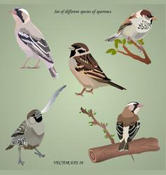 Set realistic different species sparrows vector