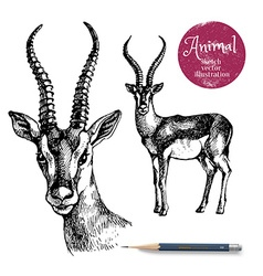 Hand drawn antelope animal Sketch isolated vector
