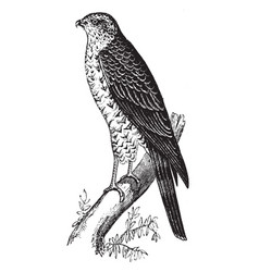 Sparrow hawk vintage vector