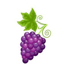fresh food ripe grapes autumn season vector image