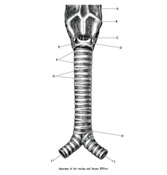Human anatomy trachea and larynx vector