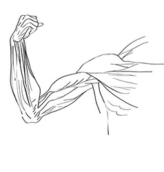 muscles of the arm vector image