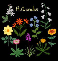 Asterales plant order vector