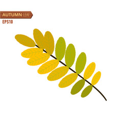 autumn acacia leaf isolated on a white background vector image