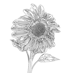 Sunflower line drawing vector