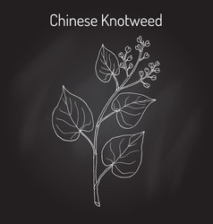 Chinese knotweed polygonum multiflorum fo-ti vector